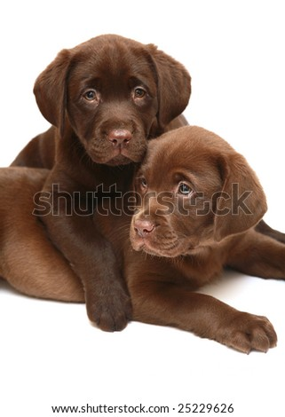 Two chocolate puppies breed a Labrador. Two dogs on a white background. - stock photo