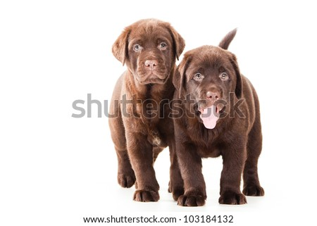 Two Chocolate Retriever puppies, 20 weeks old, standing in front of isolated white background - stock photo