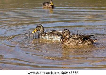 Two Cleats Biscuits Have Duck Mouth Stock Photo 500463376 ...