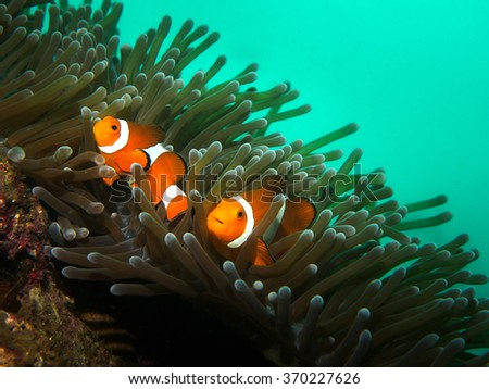 Two Clown fish with Anemone coral - stock photo