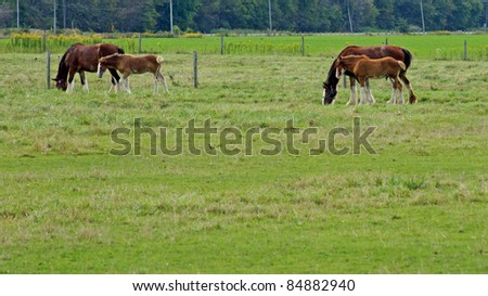 Two Clydesdale mares with foals in the pasture - stock photo