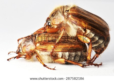 Two Cockchafer - stock photo