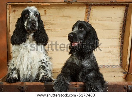 Two cocker spaniels, mother and four month old daughter, in a wooden chest - stock photo