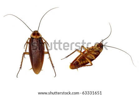 Two Cockroaches carefully isolated by using high key flash background and hand detailing. - stock photo