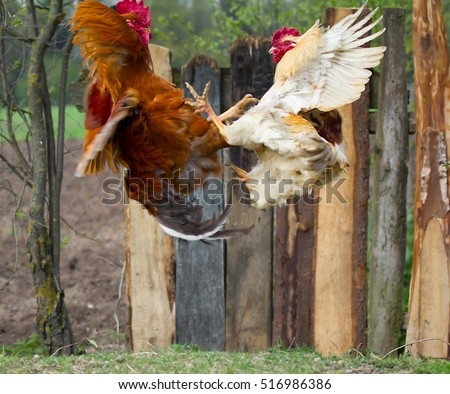 two cocks fighting  in fly