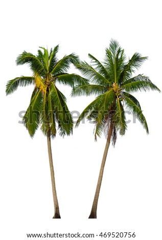 Two Coconut palm trees isolated on white background. Included clipping path.