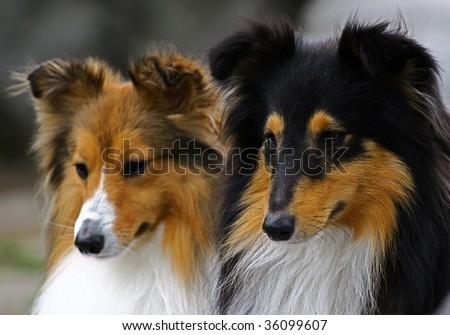 Two collie portrait - stock photo