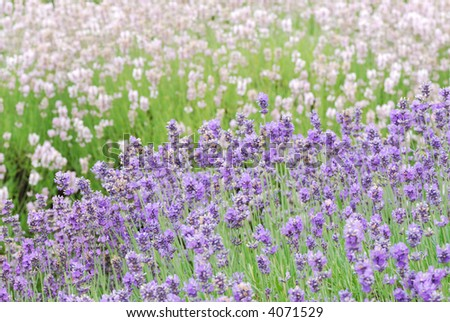 Two Colored Lavender