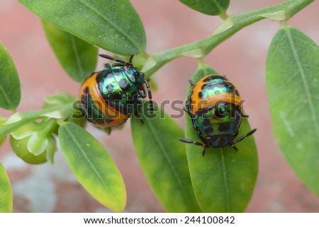 Two Colorful baby Shield Bug
