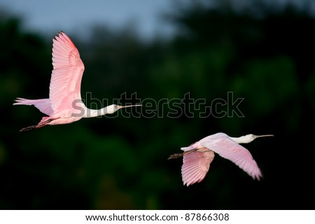 two colorful roseate spoonbills in flight, predawn over florida wetland - stock photo