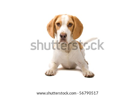 two colors beagle dog lying down looking at camera, isolated on a white background
