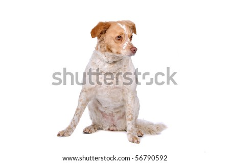 two colors mixed breed dog sitting, isolated on a white background