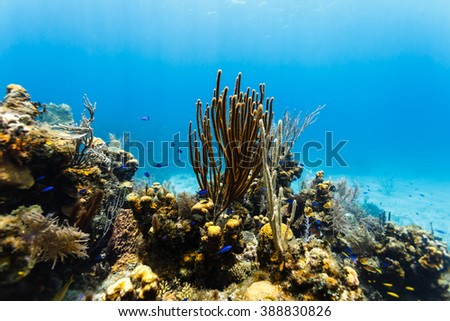 Two colors of branching coral rise high above coral reef - stock photo