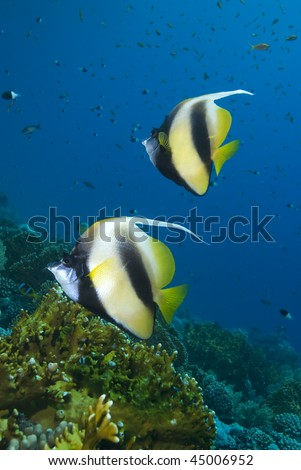 Two colourful Red Sea Bannerfish (heniochus intermedius) with a coral ...