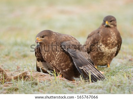 Two Common buzzards eaitng meat - buteo buteo - stock photo