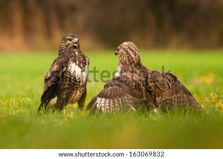 Two Common buzzards fighting, blurred background,Buteo buteo - stock photo