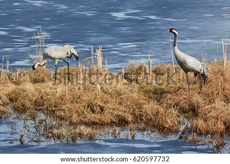 Two common cranes walking on the grass in early spring.