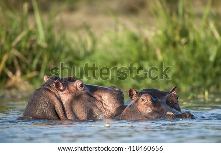 Two common hippopotamus in the water. The common hippopotamus (Hippopotamus amphibius), or hippo. Africa - stock photo