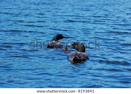 Two common loones with pullus in blue water of north lake - stock photo
