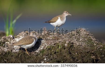 Two Common Sandpipers