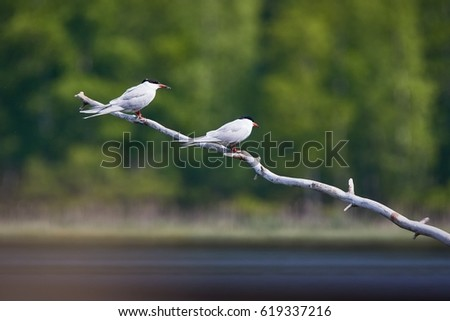 Two common terns (Sterna hirundo) sitting on a tree branch. Beautiful white birds green forest on the background.