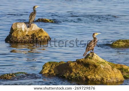 Two Cormorants on the Rocks - stock photo