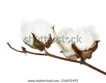 two cotton bolls on twig isolated - stock photo