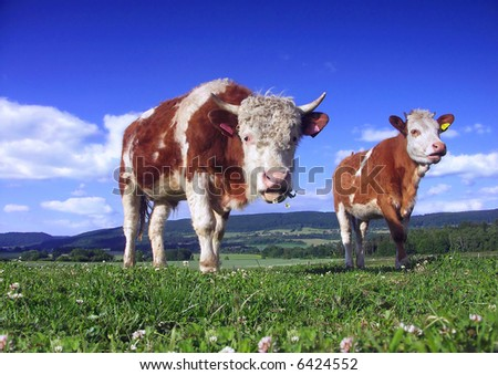 Two cow on pasture - stock photo