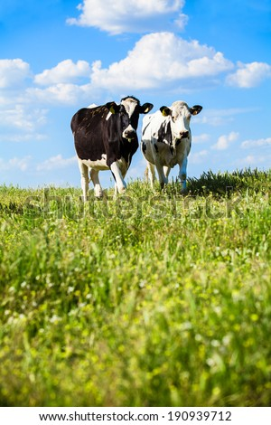 Two Cows at countryside at spring - stock photo