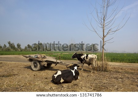 two cows beside a wooden cart resting in front of wheat fields on a sunny day in rural Punjab India - stock photo