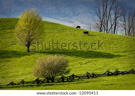 Two cows graze in a hillside field in the Virginia mountains. - stock photo
