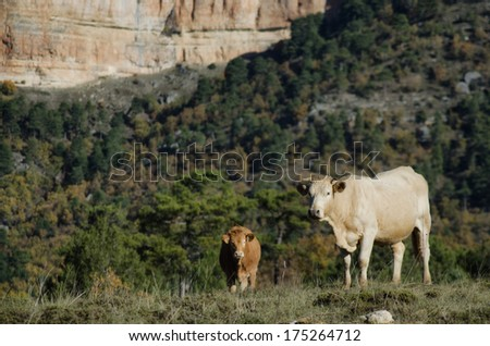 Two cows grazing in a field. - stock photo
