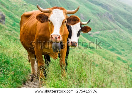 Two cows in a mountain pasture - stock photo