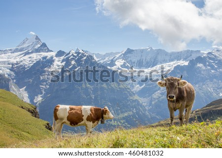 Two cows in a Swiss mountain scene