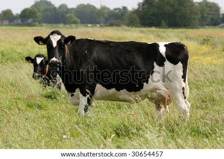 Two cows in the grass