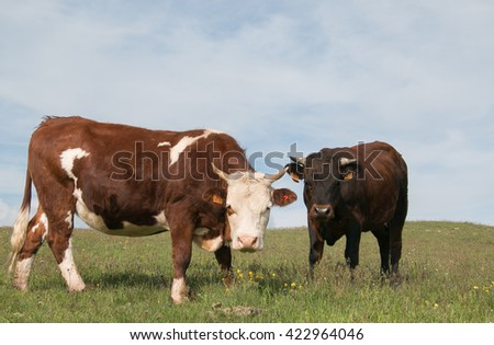 Two cows looking the camera - stock photo