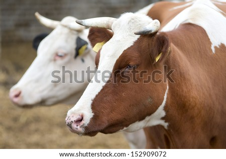 Two cows standing on farm - stock photo