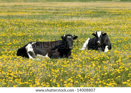 two cows to rest upon field amongst dandelion