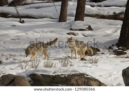 Two Coyote in winter scene at Yellowstone National Park - stock photo