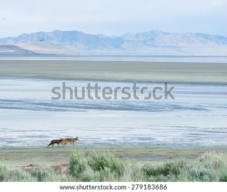 Two coyote running along the edge of the Great Salt Lake. Antelope Island State Park, Utah, United States - stock photo