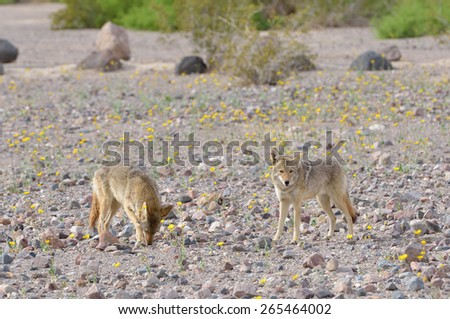 Two coyotes (Canis latrans) look for food among blooming wildflowers in Death Valley National Park in California - stock photo