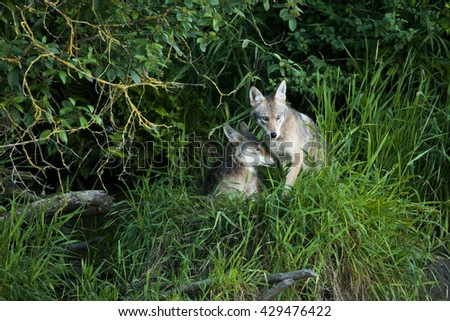 Two coyotes cuddling in the grass - stock photo