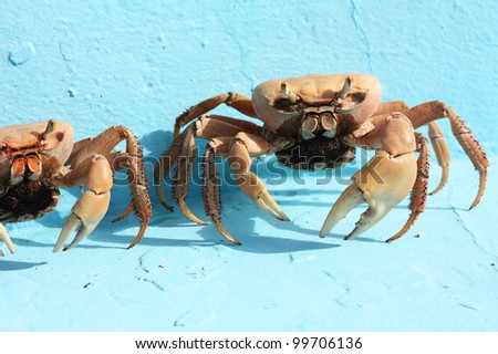 two crabs on a light blue background - stock photo