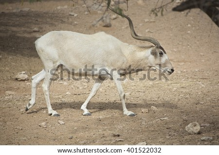 Two critically endangered young Addax (Addax nasomaculatus) grazing in the sun showing distinctive twisted adult horns and seasonal coat colour variation  - stock photo