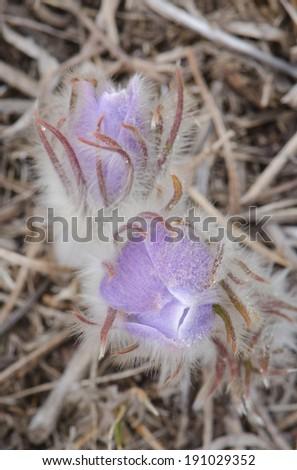 Two crocus flowers - stock photo