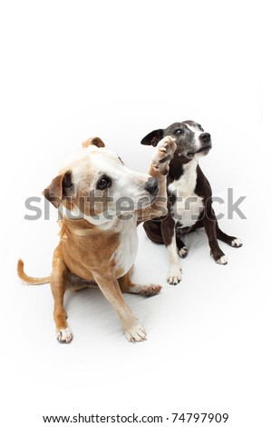 Two cross bred Staffordshire Terrier dogs - stock photo