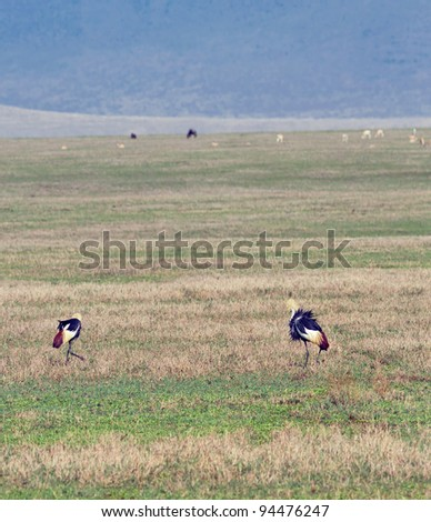 Two crowned cranes in Crater Ngorongoro National Park - Tanzania - stock photo