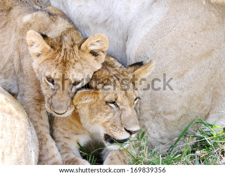 Two cubs with the lioness - stock photo