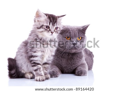 two curious british cats looking to a side, focus on the big british cat - stock photo