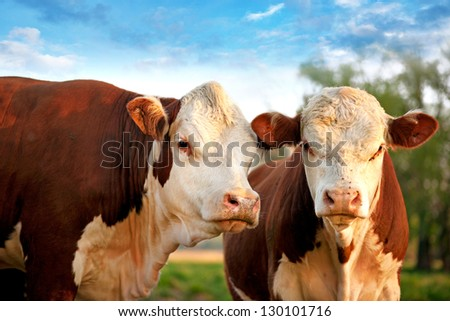 Two curious cows on field with blue sky - stock photo